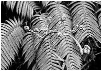 Hawaian ferns. Hawaii Volcanoes National Park, Hawaii, USA. (black and white)