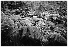Giant tropical ferns. Hawaii Volcanoes National Park, Hawaii, USA. (black and white)