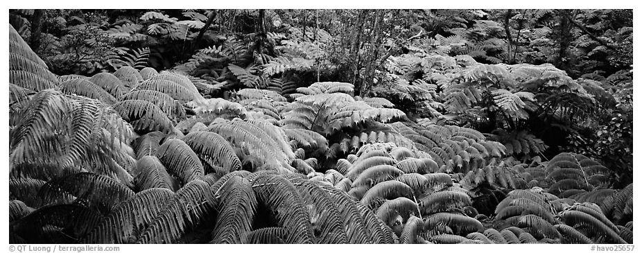 Tropical ferns. Hawaii Volcanoes National Park (black and white)