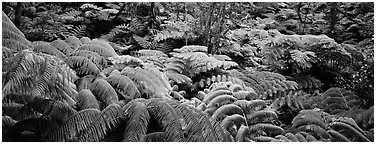 Tropical ferns. Hawaii Volcanoes National Park (Panoramic black and white)