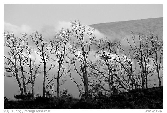 Trees silhouetted against fog at sunrise. Hawaii Volcanoes National Park (black and white)