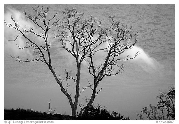 Trees and fog near Hilana Pali. Hawaii Volcanoes National Park (black and white)