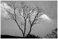 Trees and fog near Hilana Pali. Hawaii Volcanoes National Park, Hawaii, USA. (black and white)