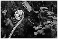 Young frond of endemic Hawaiian Hapuu. Hawaii Volcanoes National Park, Hawaii, USA. (black and white)