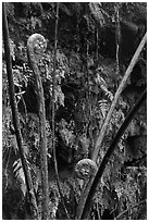 Hapuu (male tree ferns) unfolding. Hawaii Volcanoes National Park, Hawaii, USA. (black and white)