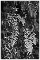 Ferns on cave wall. Hawaii Volcanoes National Park, Hawaii, USA. (black and white)