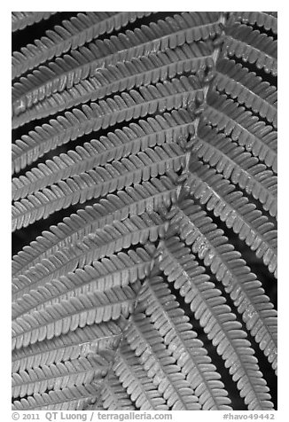 Fern close-up. Hawaii Volcanoes National Park (black and white)