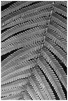 Fern close-up. Hawaii Volcanoes National Park, Hawaii, USA. (black and white)