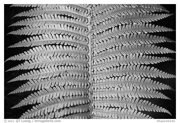 Tropical fern leaves. Hawaii Volcanoes National Park (black and white)