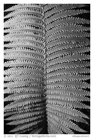 Fern frond close-up. Hawaii Volcanoes National Park (black and white)