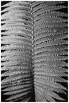 Fern frond close-up. Hawaii Volcanoes National Park, Hawaii, USA. (black and white)