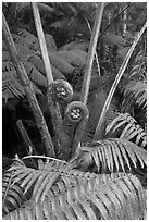 Crozier of the Hapuu tree ferns. Hawaii Volcanoes National Park ( black and white)