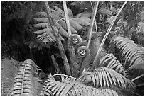 Hapuu tree ferns with crozier fronds. Hawaii Volcanoes National Park, Hawaii, USA. (black and white)