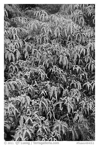 Slope covered with Uluhe ferns. Hawaii Volcanoes National Park (black and white)