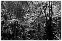 Rainforest with Hawaiian tree ferns. Hawaii Volcanoes National Park, Hawaii, USA. (black and white)