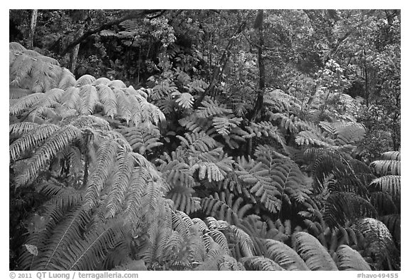 Rain forest with giant Hawaiian ferns. Hawaii Volcanoes National Park (black and white)