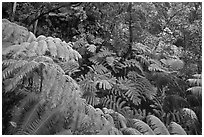 Rain forest with giant Hawaiian ferns. Hawaii Volcanoes National Park, Hawaii, USA. (black and white)