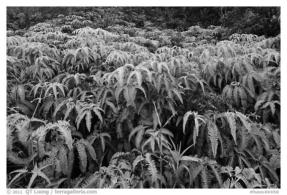Carpet of false staghorn fern (Uluhe). Hawaii Volcanoes National Park (black and white)
