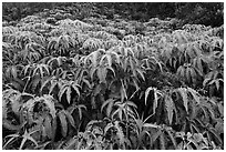 Carpet of false staghorn fern (Uluhe). Hawaii Volcanoes National Park, Hawaii, USA. (black and white)