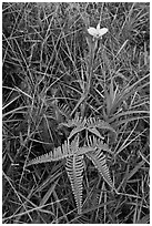 Fern and bamboo orchid (Arundina graminifolia). Hawaii Volcanoes National Park, Hawaii, USA. (black and white)