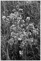 Ohia Lehua shrub and flowers. Hawaii Volcanoes National Park, Hawaii, USA. (black and white)
