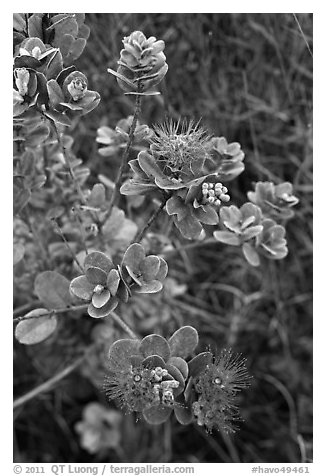Ohia Lehua (Metrosideros polymorpha). Hawaii Volcanoes National Park (black and white)