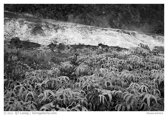 Uluhe ferns and sulphur bank. Hawaii Volcanoes National Park (black and white)