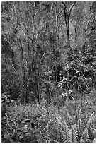 Fern and trees in Kookoolau crater. Hawaii Volcanoes National Park ( black and white)