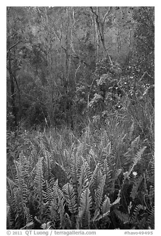 Ferns and forest Kookoolau crater. Hawaii Volcanoes National Park (black and white)