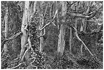 Cool forest near Kipuka Puaulu. Hawaii Volcanoes National Park ( black and white)