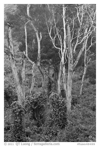 Tall native forest near Kipuka Ki. Hawaii Volcanoes National Park (black and white)