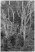 Tall native forest near Kipuka Ki. Hawaii Volcanoes National Park ( black and white)