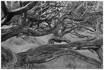 Forest of koa trees. Hawaii Volcanoes National Park, Hawaii, USA. (black and white)