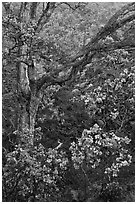 Ohia flowers and tree. Hawaii Volcanoes National Park, Hawaii, USA. (black and white)