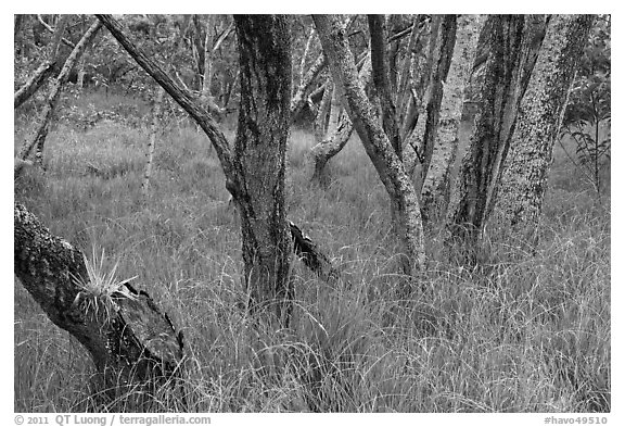 Dryland forest and grasses. Hawaii Volcanoes National Park (black and white)