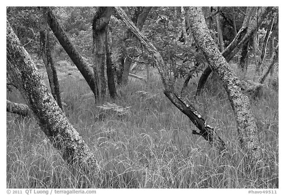 Dryland forest along Mauna Load Road. Hawaii Volcanoes National Park (black and white)