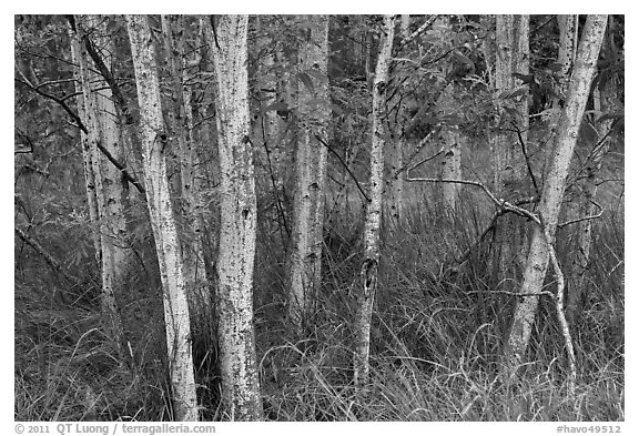 Mauna Loa dryland forest. Hawaii Volcanoes National Park (black and white)