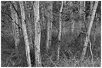 Mauna Loa dryland forest. Hawaii Volcanoes National Park ( black and white)