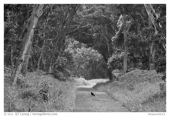 Bird on Mauna Load Road. Hawaii Volcanoes National Park (black and white)