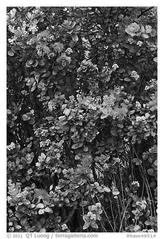 Ohia Lehua flowers. Hawaii Volcanoes National Park (black and white)