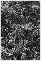 Ohia Lehua flowers. Hawaii Volcanoes National Park ( black and white)