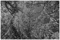 Looking up forest of koa trees. Hawaii Volcanoes National Park, Hawaii, USA. (black and white)
