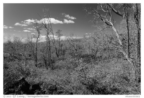 Dead Ohia Lehua trees. Hawaii Volcanoes National Park (black and white)