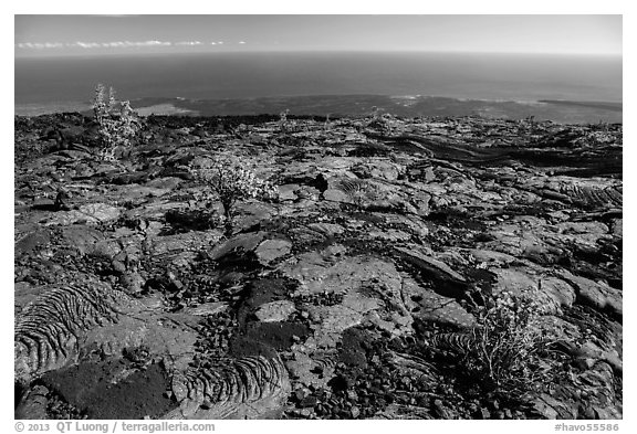 Ohia shrubs on lava flow overlooking Pacific Ocean. Hawaii Volcanoes National Park (black and white)