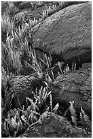 Ferns growing in cracks of lava rock. Hawaii Volcanoes National Park, Hawaii, USA. (black and white)