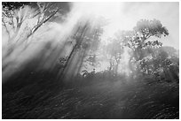 Grasses, trees, and sunrays. Hawaii Volcanoes National Park, Hawaii, USA. (black and white)