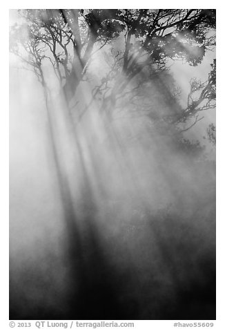 Sunrays and trees in steam. Hawaii Volcanoes National Park (black and white)