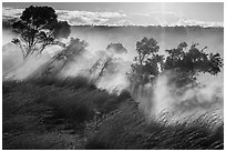 Grasses and trees, Steaming Bluff. Hawaii Volcanoes National Park, Hawaii, USA. (black and white)