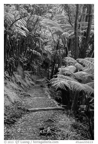 Giant ferns bordering Kīlauea Iki Trail. Hawaii Volcanoes National Park (black and white)