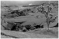 Ohelo trees and fractures on Kilauea Iki crater floor. Hawaii Volcanoes National Park, Hawaii, USA. (black and white)